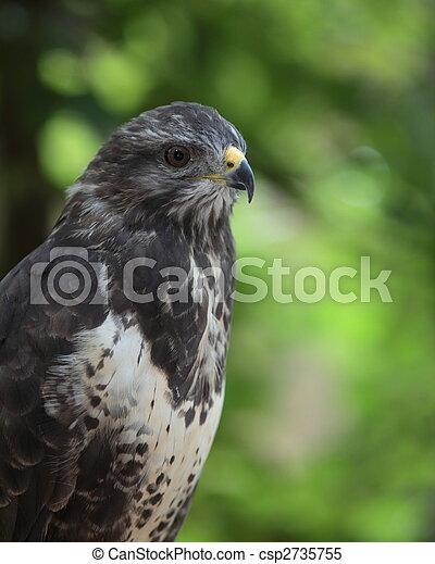 Portrait of a majestic common buzzard (Buteo buteo) - csp2735755