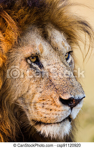 Portrait of a male lion in the Masai Mara in Keny - csp91120920