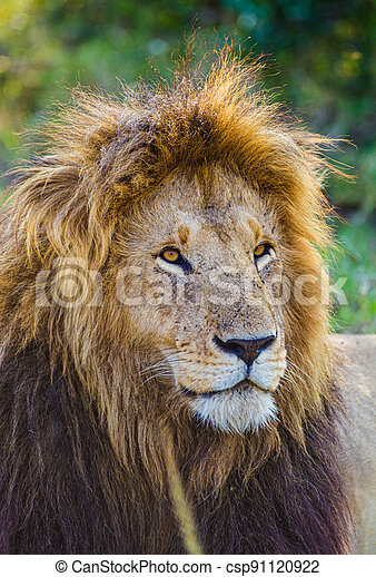 Portrait of a male lion in the Masai Mara in Kenya - csp91120922