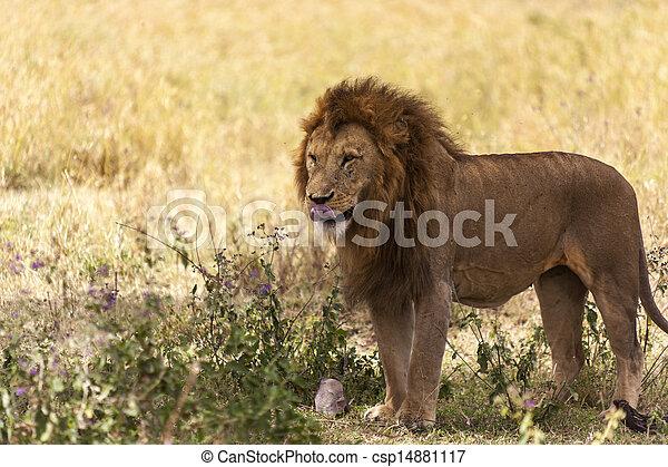 Portrait Of A Male Lion - csp14881117