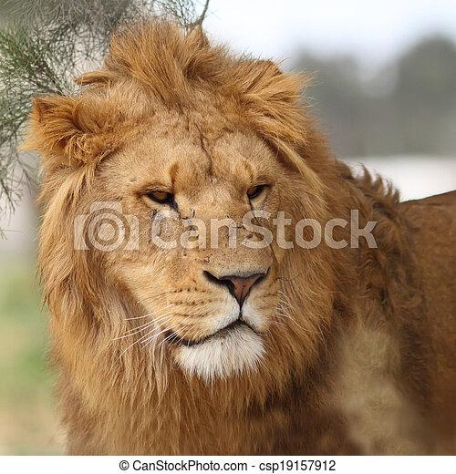 Portrait of a male lion. - csp19157912