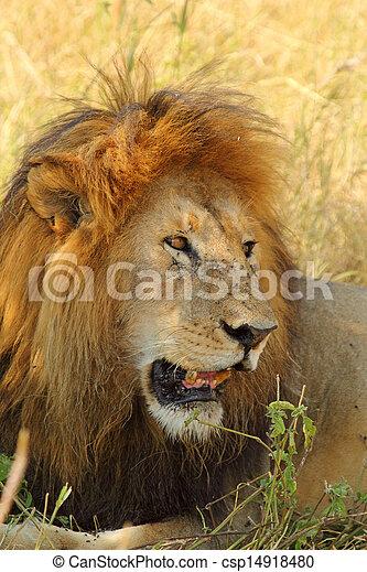 Portrait of a male lion - csp14918480