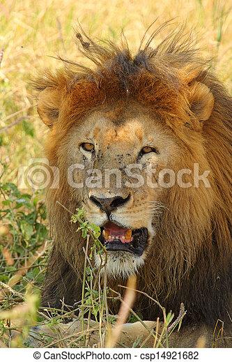 Portrait of a male lion - csp14921682