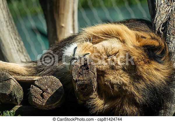 Portrait of a male lion sleeping in a zoo - csp81424744