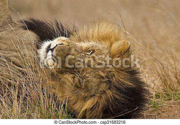 portrait of a male lion sleeping in savannah - csp31683216