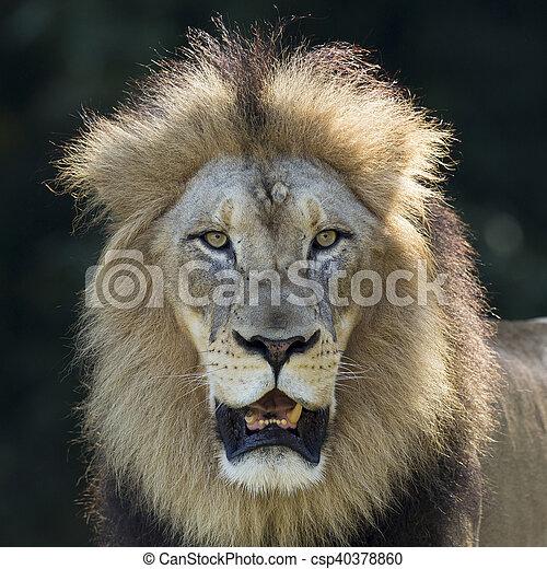 Portrait of a Male Lion - csp40378860