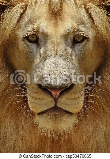 Portrait of a Male Lion - csp50470665