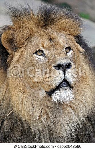 Portrait of a male lion - csp52842566