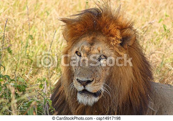 Portrait of a male lion - csp14917198