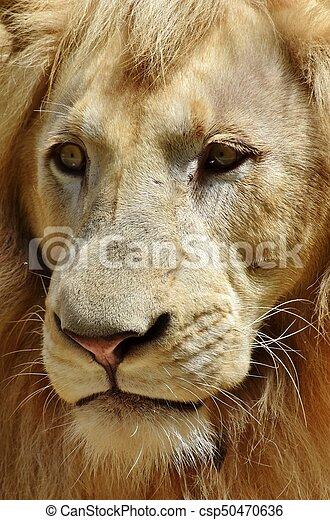 Portrait of a Male Lion - csp50470636