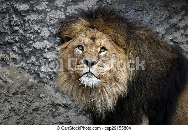 Portrait of a male lion with a rocky background - csp29155804