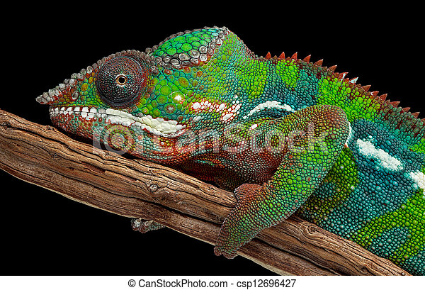 Portrait of a panther chameleon - csp12696427