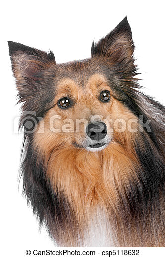 portrait of a sheltie dog - csp5118632