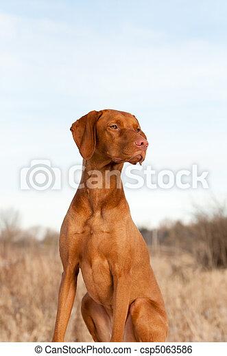 Portrait of a Sitting Vizsla Dog in Autumn - csp5063586