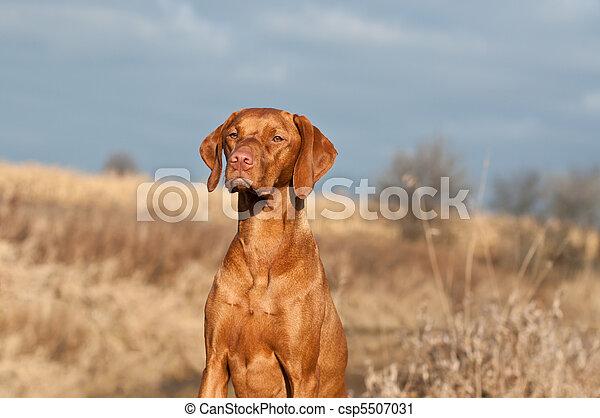 Portrait of a Sitting Vizsla Dog - csp5507031