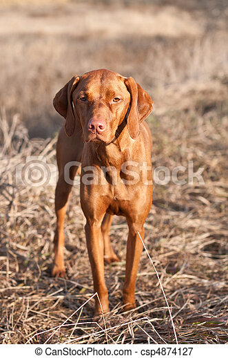 Portrait of a Standing Vizsla Dog - csp4874127