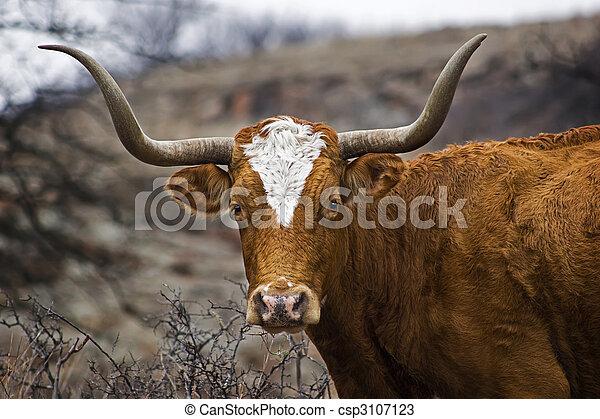 Portrait of a Texas Longhorn - csp3107123