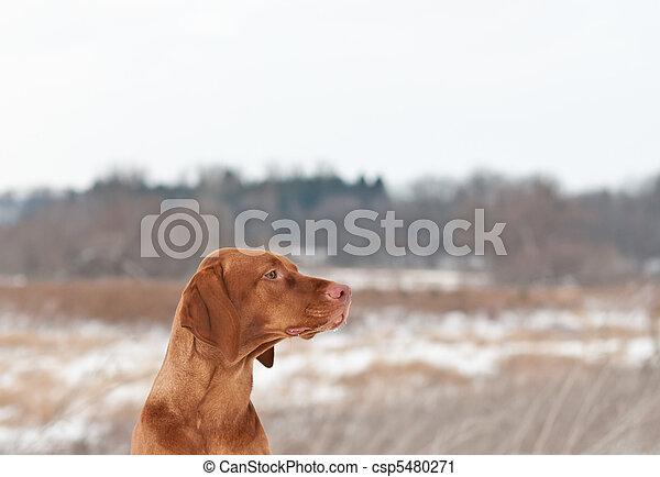 Portrait of a Vizsla dog in Winter - csp5480271