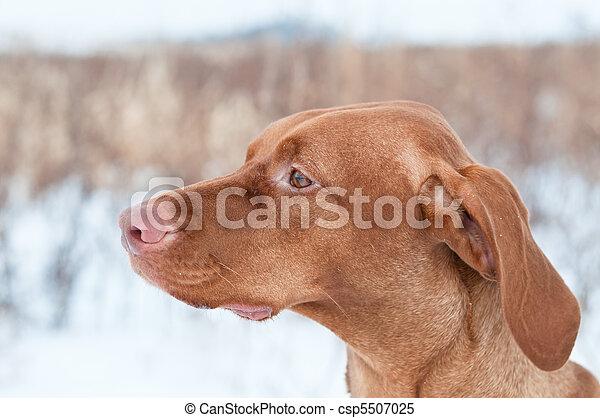 Portrait of a Vizsla dog in Winter - csp5507025