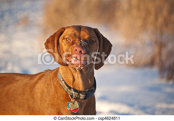 Portrait of a Vizsla Dog in Winter with a Funny Expression - csp4624811