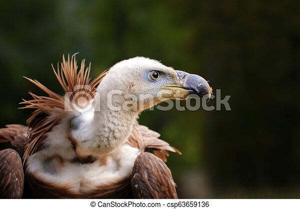 Portrait of a vulture living in captivity - csp63659136