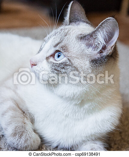portrait of a white cat with light blue eyes lying on a carpet and looking to the side - csp69138491