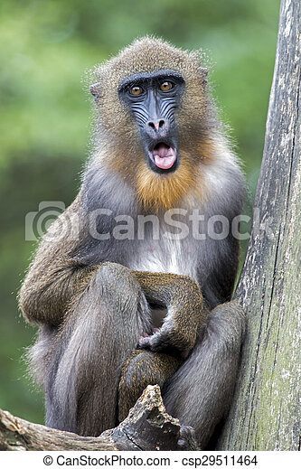 Portrait of a young male mandrill - csp29511464