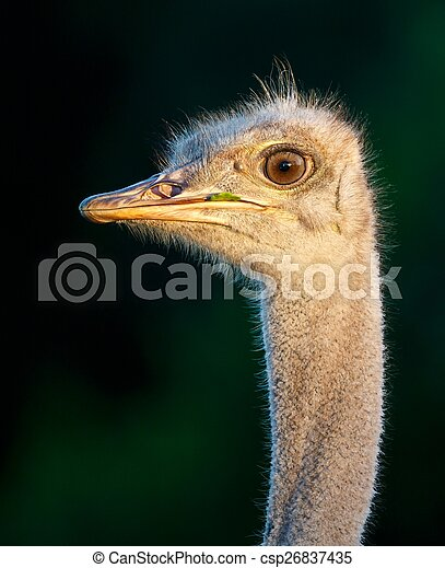 Portrait of a Young Ostrich Bird - csp26837435
