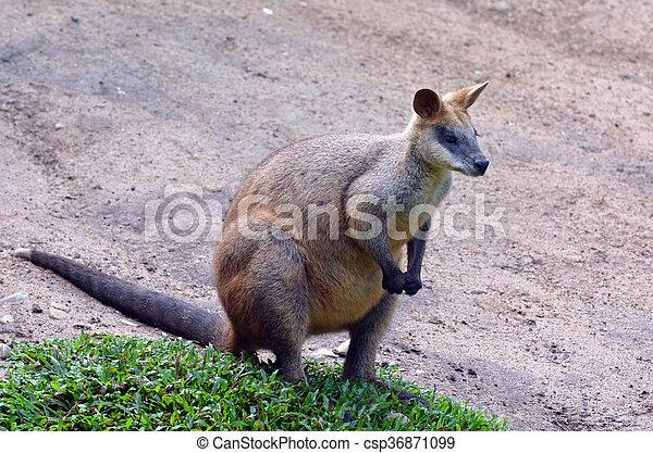 Portrait of Agile wallaby in Queensland  Australia - csp36871099