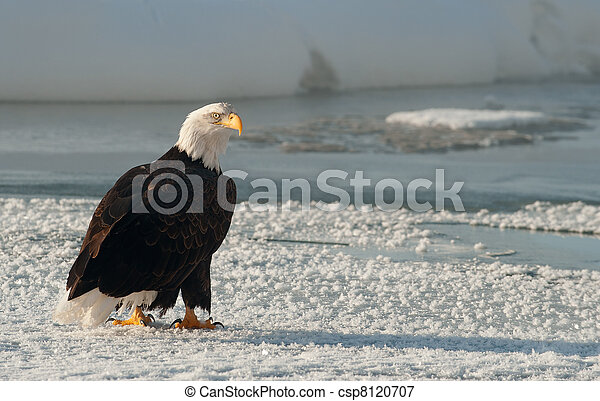 Portrait of an  Adult Bald Eagle(Haliaeetus leucocephalus) on snow - csp8120707