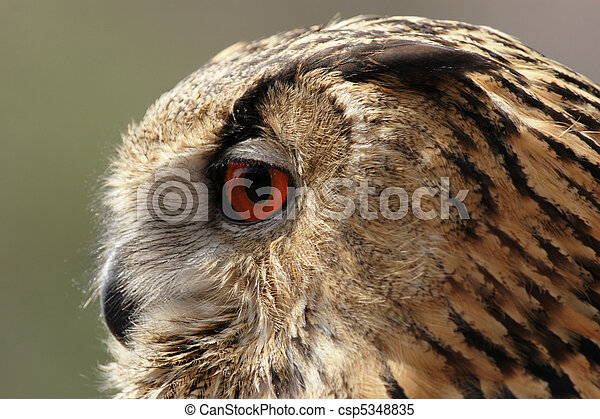 Portrait of an Eagle Owl (Bubo bubo) - csp5348835
