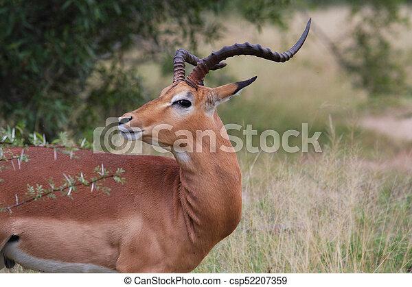 Portrait of an Impala - csp52207359