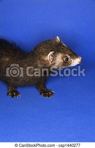 Portrait of brown ferret. - csp1440277