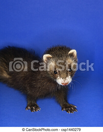Portrait of brown ferret. - csp1440279