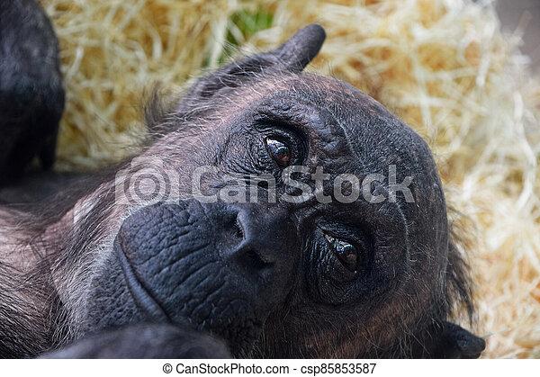 Portrait of chimpanzee looking away - csp85853587