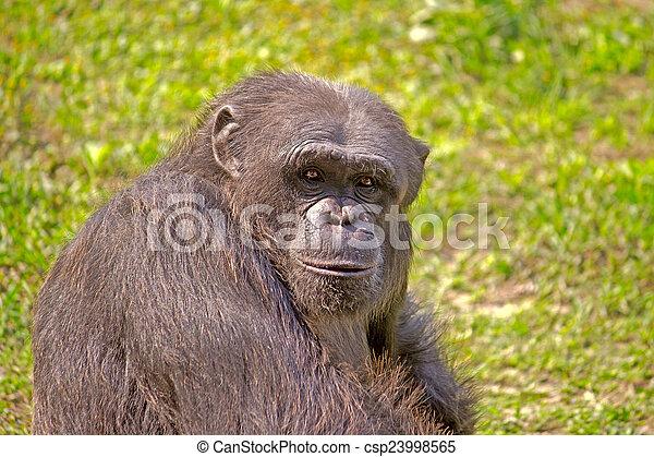Portrait of Chimpanzee - csp23998565