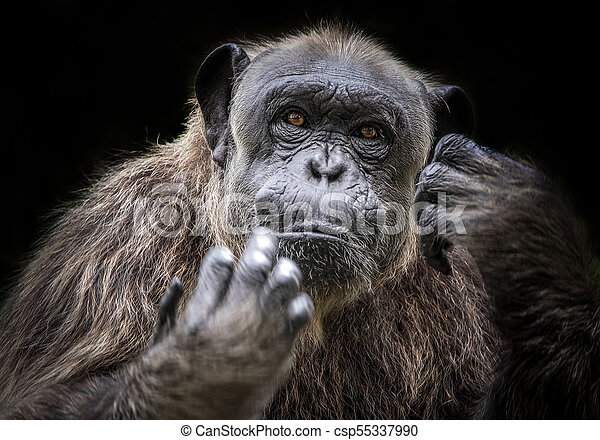 Portrait of Chimpanzee. - csp55337990