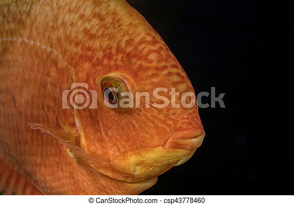 Portrait of cichlid fish (Heros sp.) - csp43778460