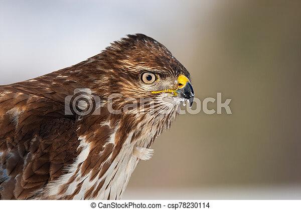Portrait of common buzzard, buteo buteo, with copy space - csp78230114