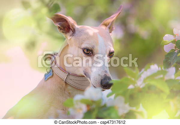 Portrait of dog in spring blossom - csp47317612