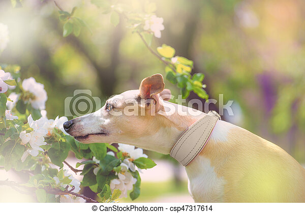 Portrait of dog in spring blossom - csp47317614