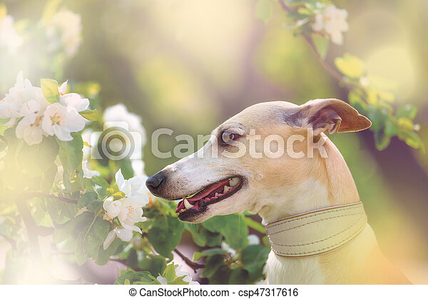 Portrait of dog in spring blossom - csp47317616
