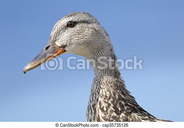 portrait of duck - csp35735126