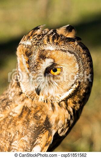Portrait of Eagle owl (Bubo bubo) - csp51851562
