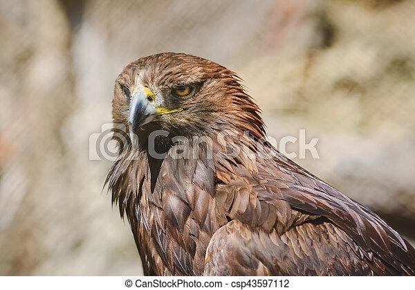 Portrait of Eagle - csp43597112