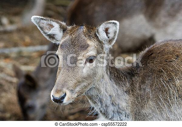 Portrait of fallow deer (Dama dama) - csp55572222