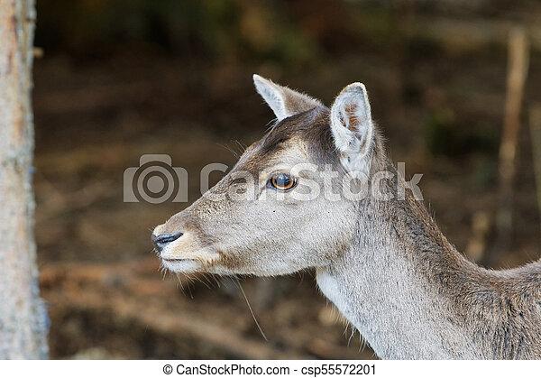 Portrait of fallow deer (Dama dama) - csp55572201