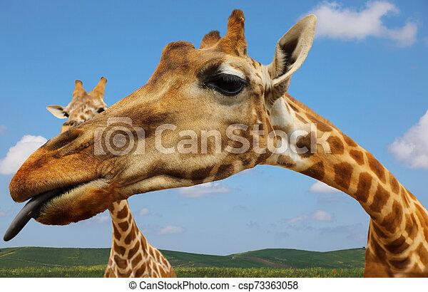 Portrait of giraffe on blue sky background - csp73363058