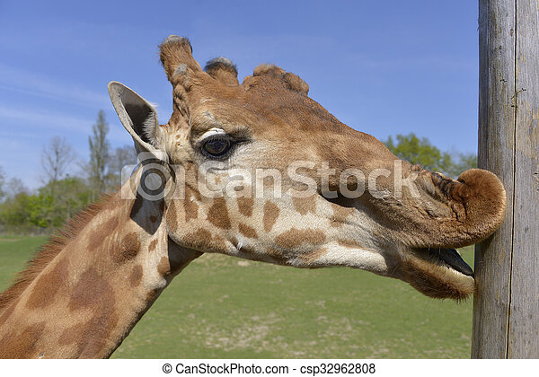 Portrait of giraffe - csp32962808