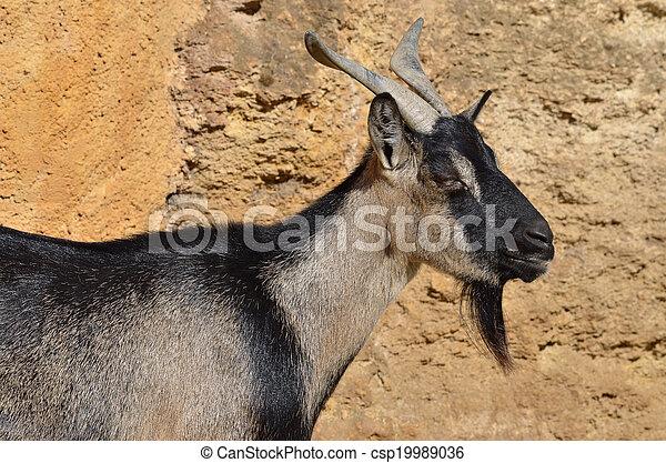Portrait of goat - csp19989036